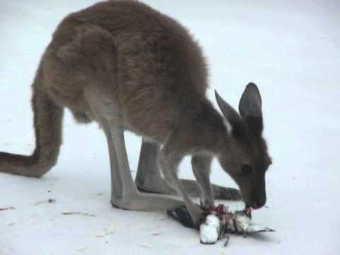 01 WTF: Ein Känguru frisst einen Pinguin (NSFW)