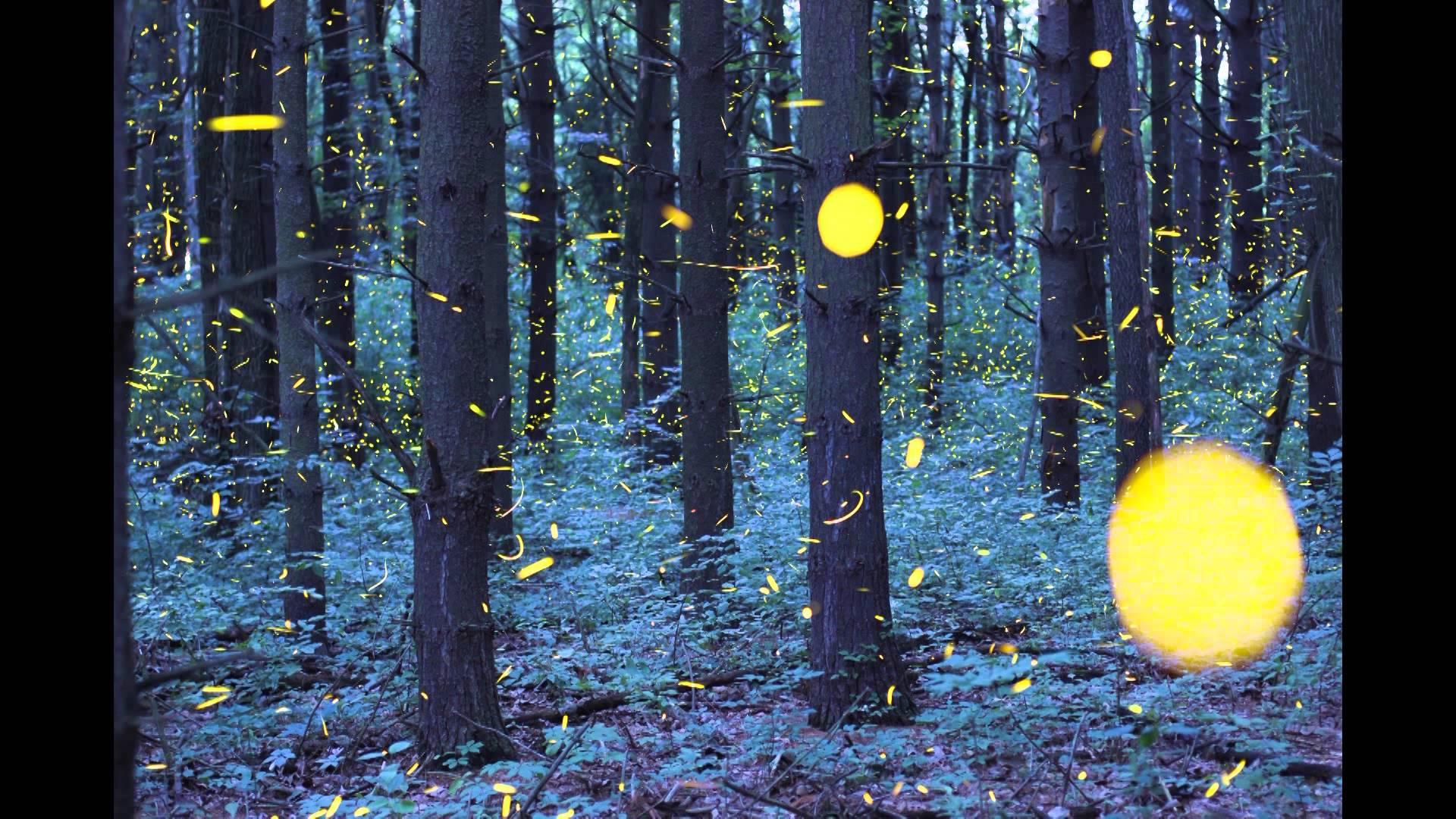 maxresdefault78Q32SHE Glühwürmchen Schwärme im Zeitraffer