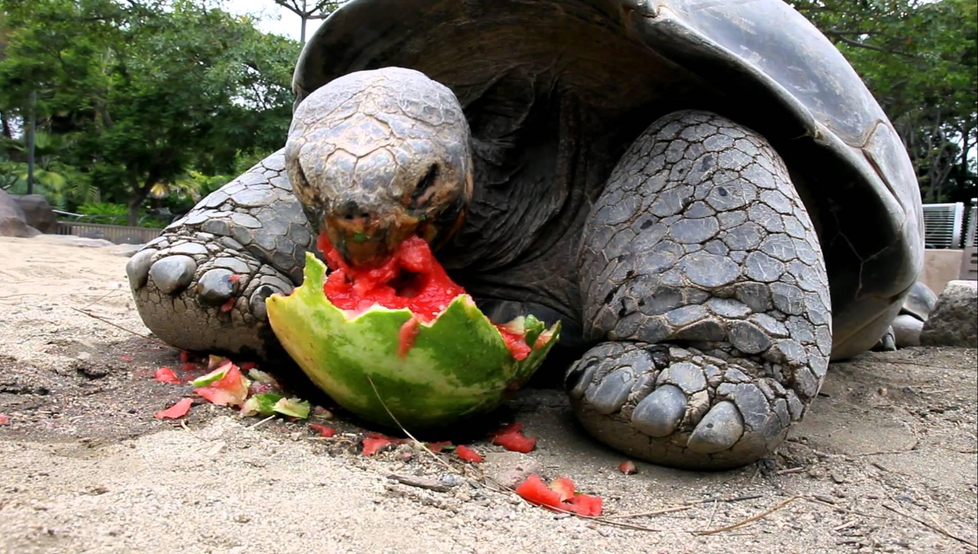 maxresdefaultKXHACAOZ Einer Galapagos Schildkröte beim Essen einer Wassermelone kann unglaublich entspannend sein