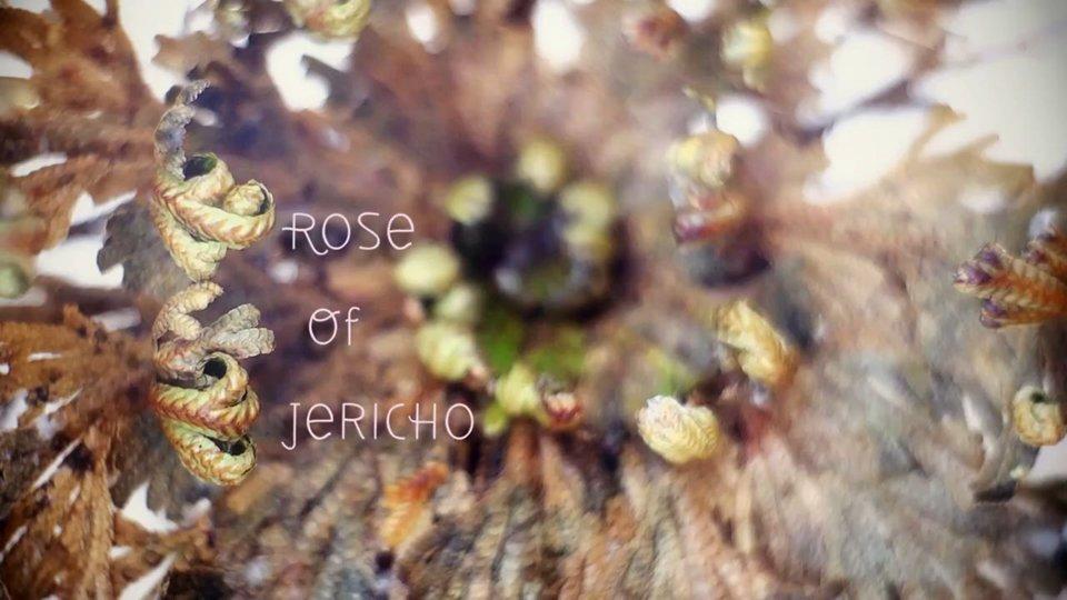 295374595 9601 Eine Rose von Jericho im Zeitraffer