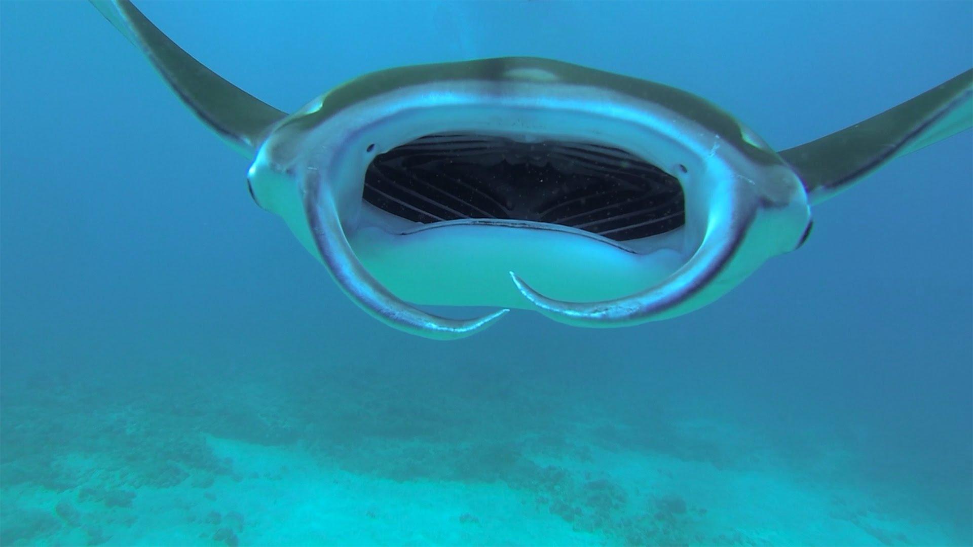 maxresdefaultN927CXST Ey boah ey: Schwimmen mit einem Manta Rochen vor der Küste von Maui