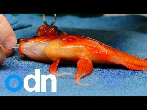 06 George der Goldfisch bekam eine Gehirnoperation