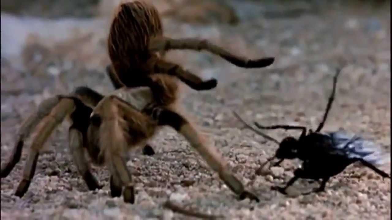 maxresdefault12 Nature you so scary: Tarantel und Taranteln jagende Wespe im epischen Todeskampf