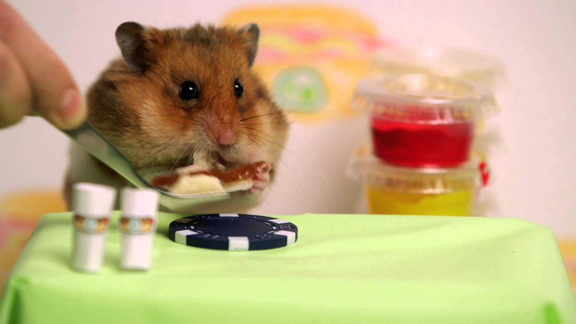 maxresdefaultIZM2S1TU Wer kann mehr schneller essen: Hamster oder Mensch?