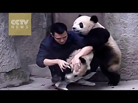 094 Niedliche, quirlige Pandas wollen keine Medizin