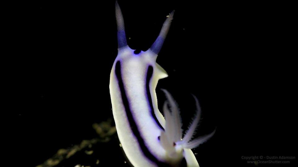 492251073 9601 Nudibranchs of Papua New Guinea   ein Kurzfilm über bunte Seeschnecken