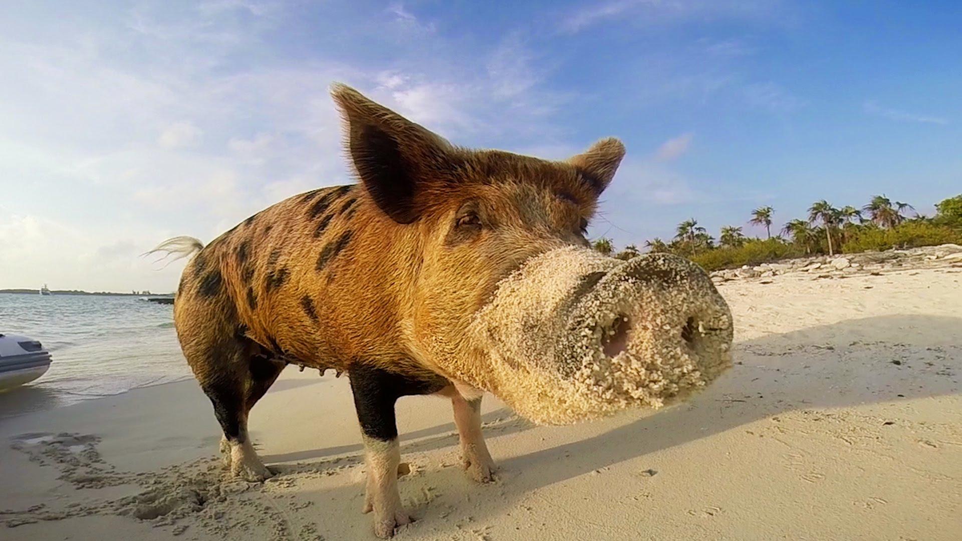 maxresdefaultZS2F6YH6 Pig Beach, eine Insel der Bahamas, die von schwimmenden Schweinen bewohnt wird