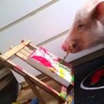 Moritz das Schweinchen kann besser malen als ihr