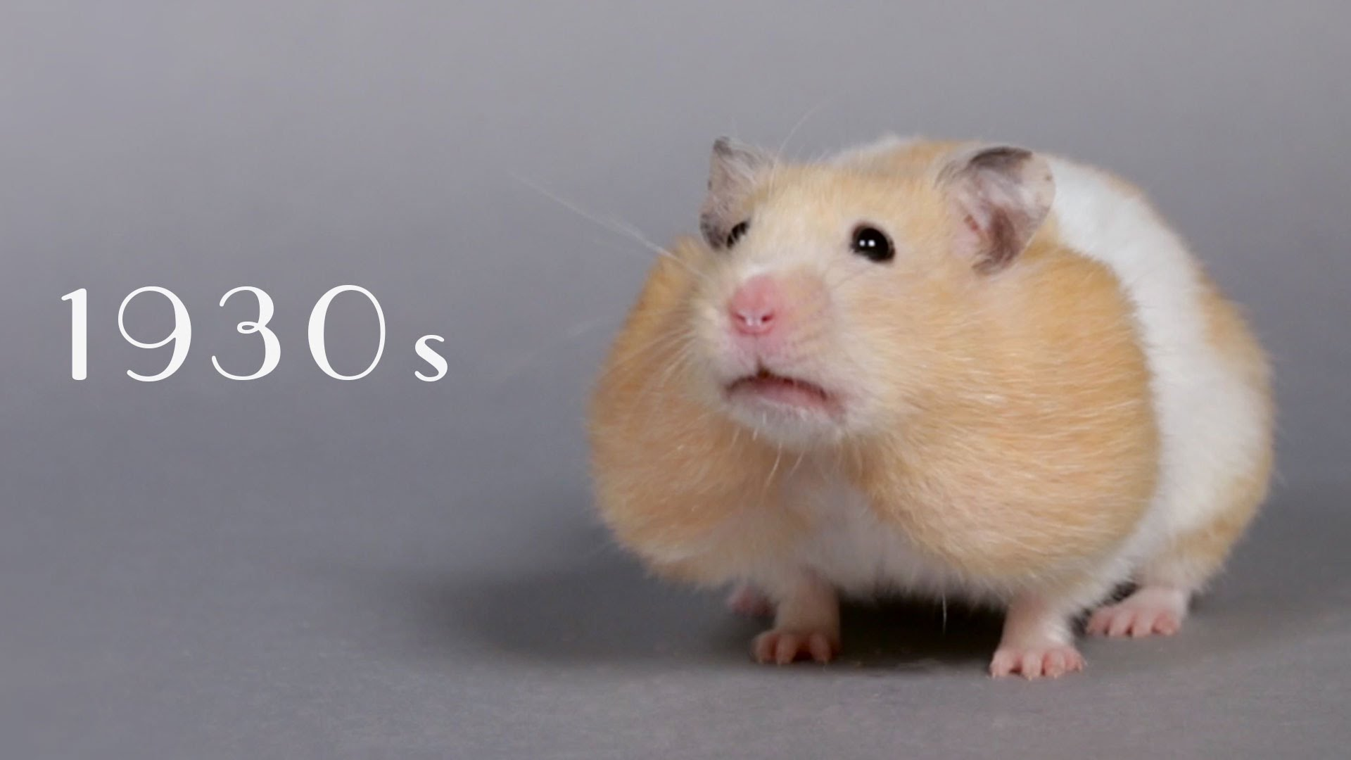 100 Years of Hamster Beauty in Sixty Seconds