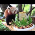 Chori, der rote Panda, bekommt zum Geburstag einen Überraschungskuchen
