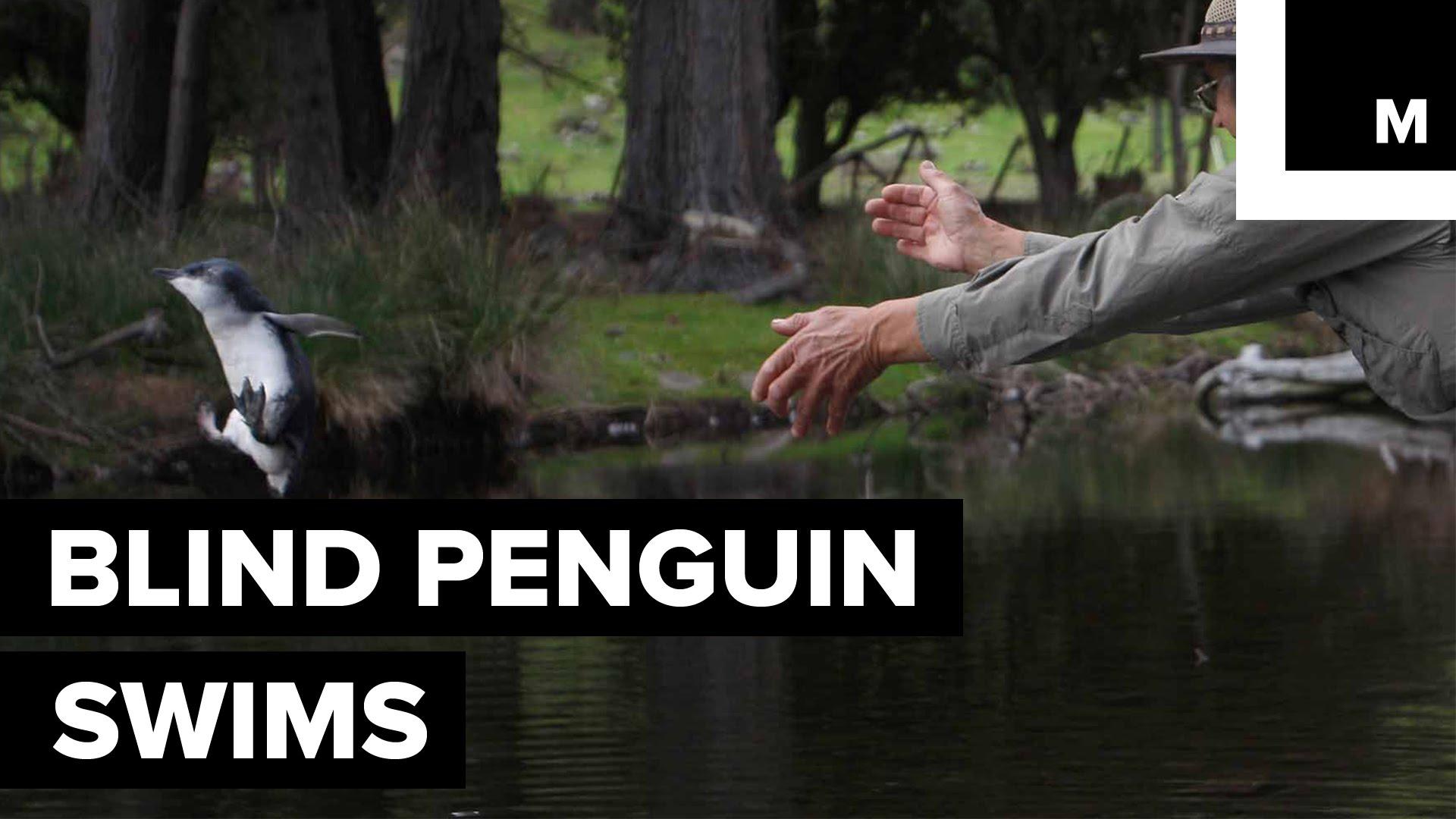 Ein blinder Pinguin lernt schwimmen