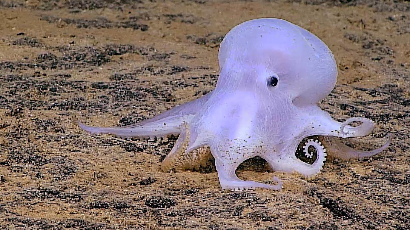 Man entdeckte einen neuen, kleinen, niedlichen Octopus und nannte ihn Casper