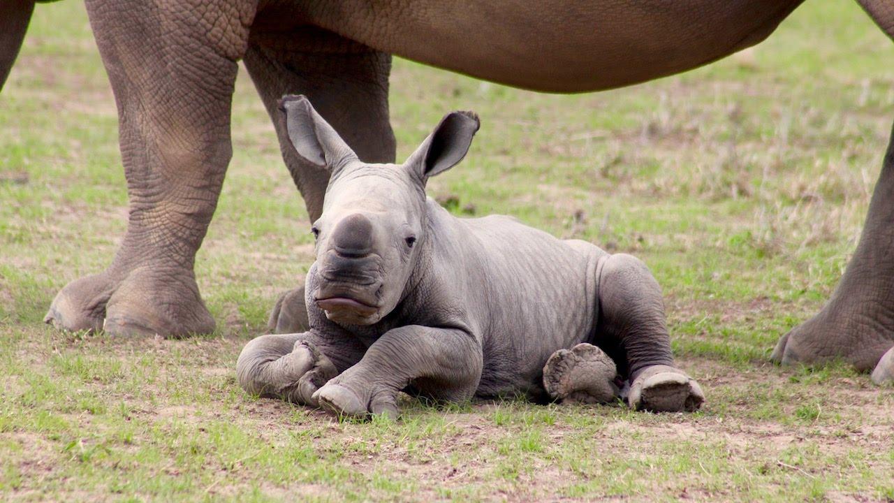 Ringo das rüstige Rhinozeros-Baby