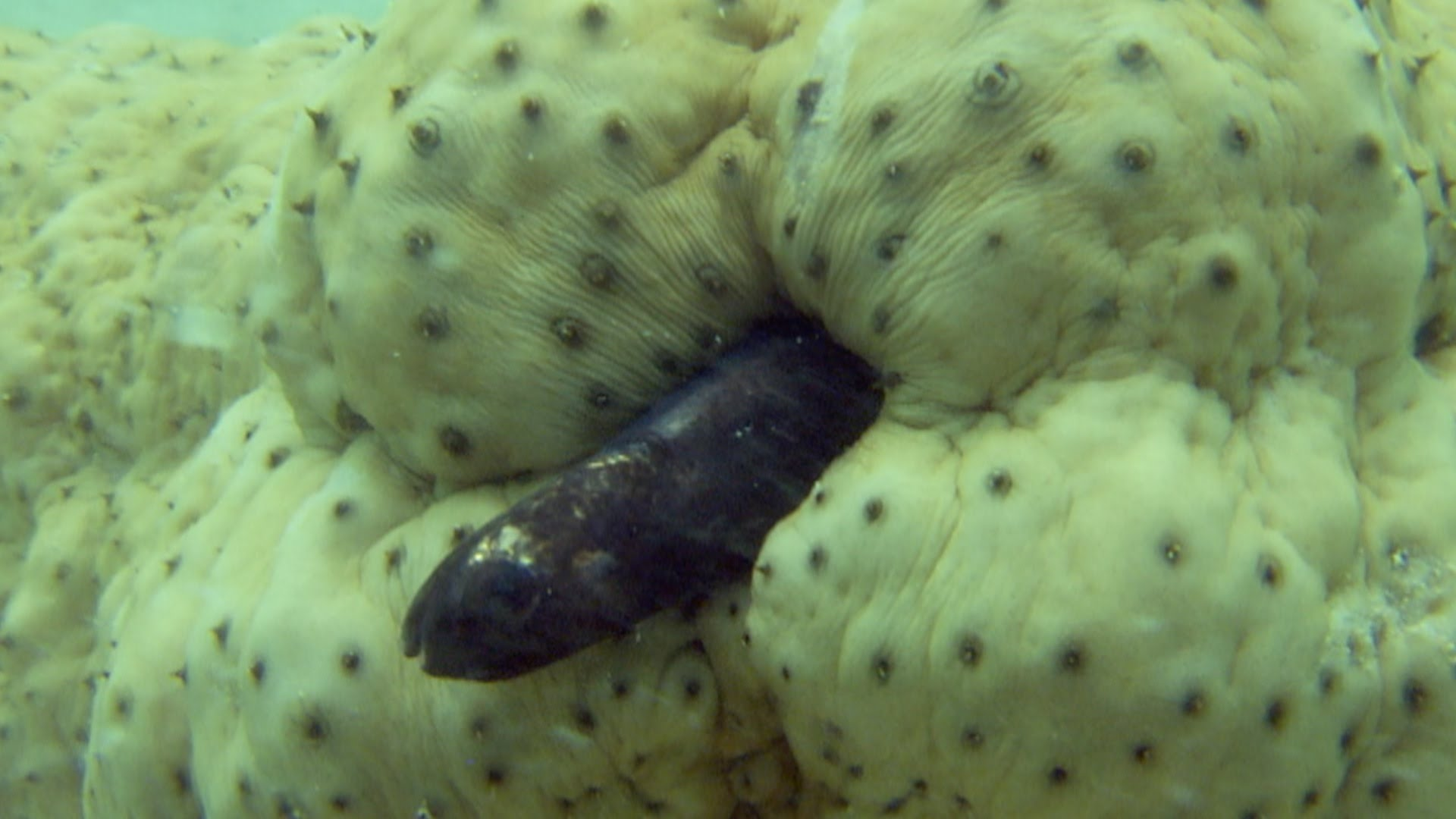 Und dann gab es einen Fisch, der im Pupsloch einer Seegurke wohnt