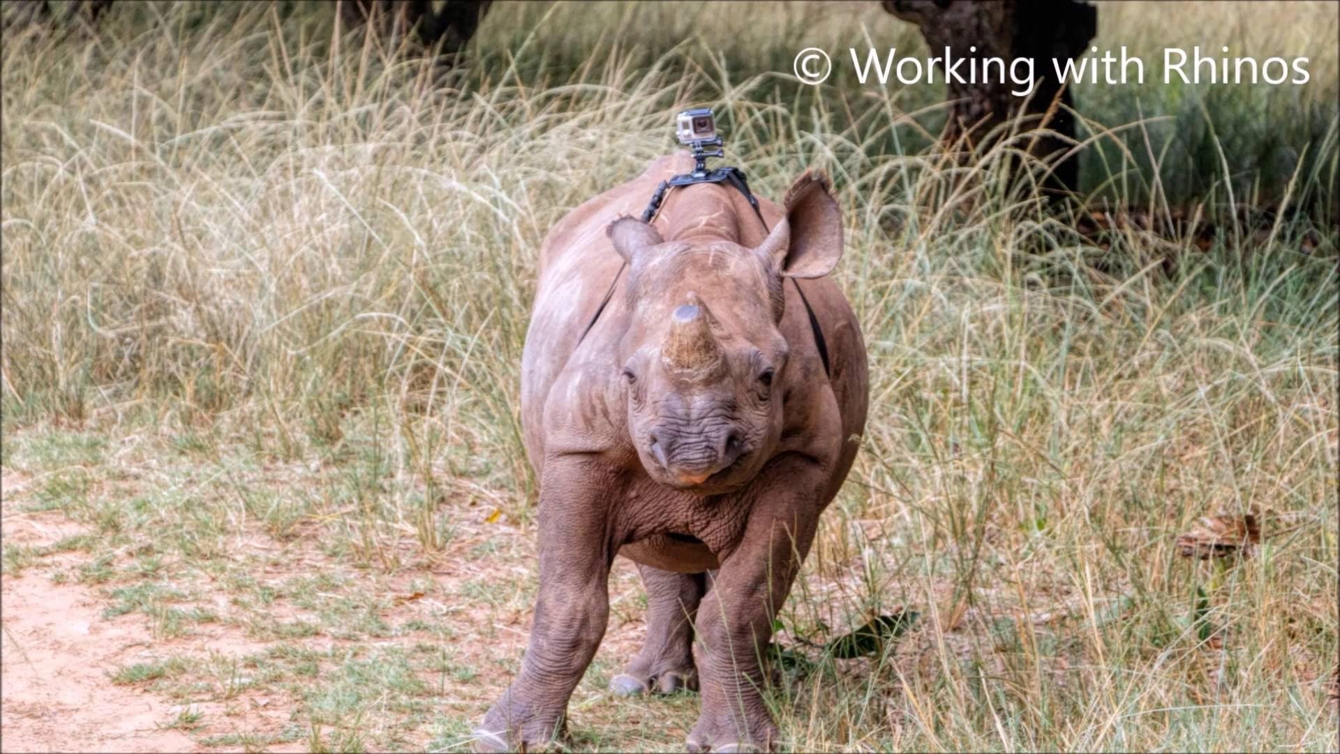 Ein Tag im Leben eines Baby-Nashorns mit einer GoPro auf dem Rücken