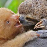 Nature you so cute: Übrigens gibt es zwei-fingrige und drei-fingrige Faultiere