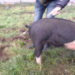 Wie man professionell den Ringelschwanz eines Schweinchens begradigen kann