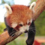 Kesari, der niedliche Red Panda, macht was Red Pandas halt so machen