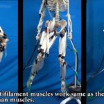 Und wieder ein Schritt näher am Fembot: Künstliche Muskeln bewegen ein echtes Skelett