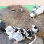 Als Capybara bekommst du alle Chicks