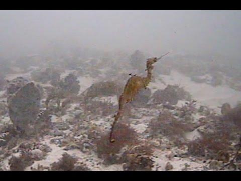 Die ersten Bilder eines lebend gefilmten roten Seedrachens