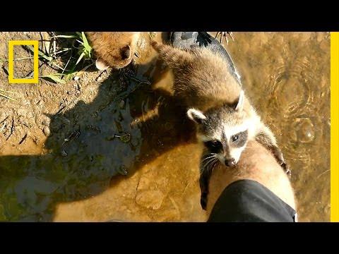 Wie ein bärtiger Fischer von drei Waschbärenbabies als Mutter adoptiert wurde