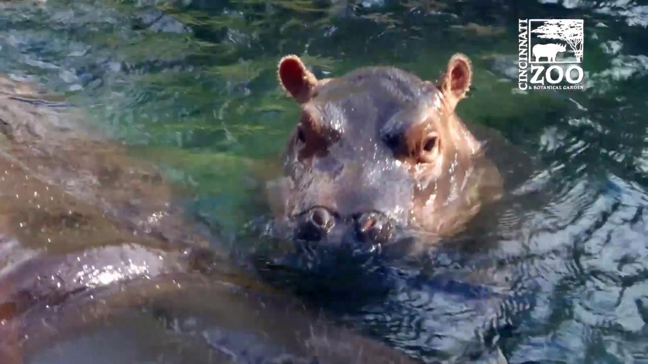 Das erste halbe Jahr von Fiona, dem berühmten Nilpferd aus dem Cincinnati Zoo