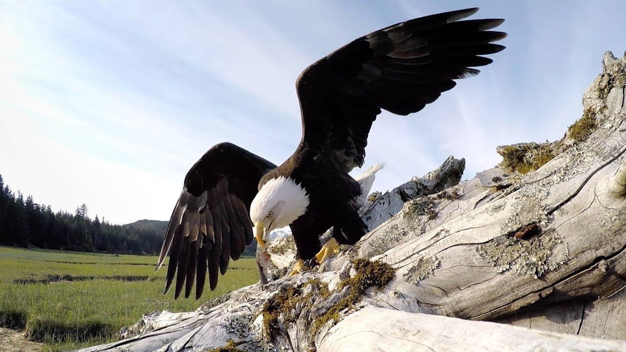 Ein Weißkopfseeadler stiehlt eine GoPro und nimmt uns mit auf die Reise