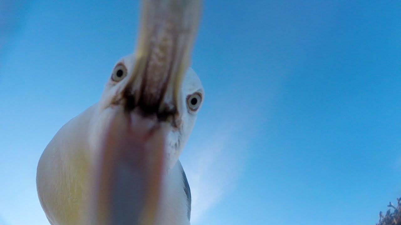Eine Möwe stiehlt eine GoPro und wird zur lebendigen Drohne