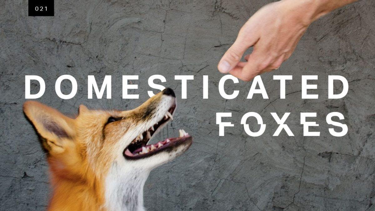 In einem 60 Jahre andauerndem Experiment haben russische Zoologen domestizierte Füchse gezüchtet