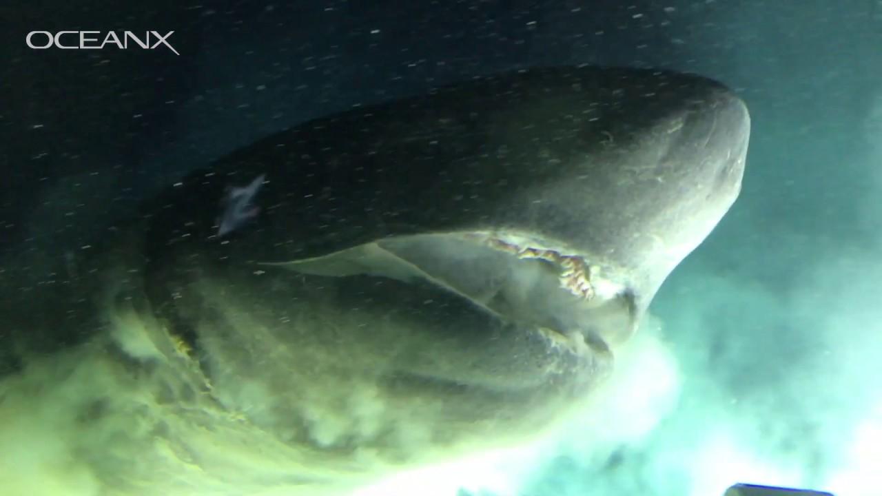 Wie ein MASSIVER Tiefseehai erstmal ein U-Boot von OceanX abcheckt