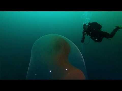 Taucher suchen vor Norwegen ein Schiffswrack aus dem zweiten Weltkrieg, finden aber einen Sack voller Baby-Kalmare