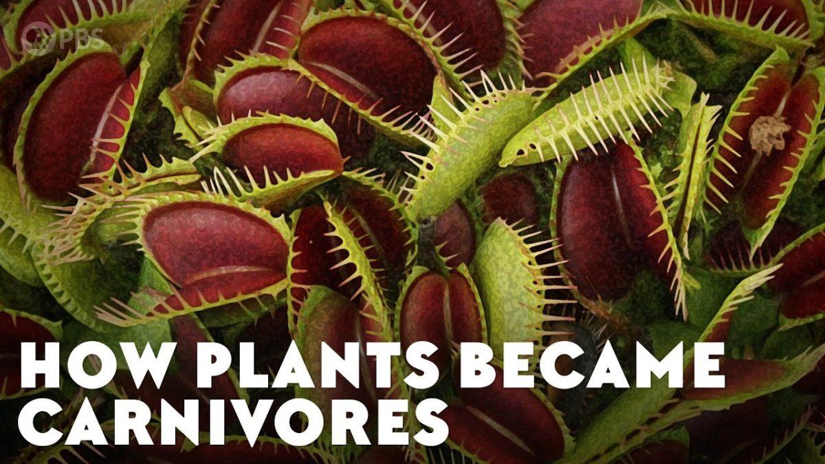 Ein kurzes Erklärvideo, wie manche Pflanzen eigentlich fleischfressend wurden