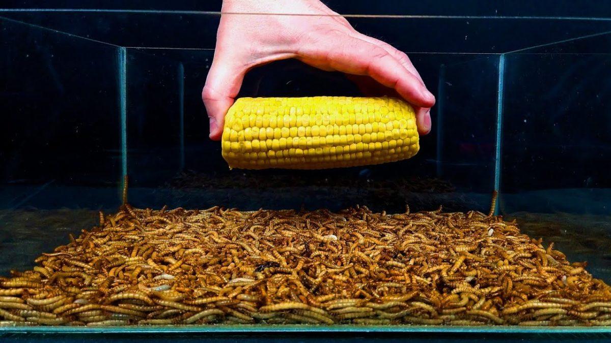 10'000 Mehlwürmer fressen eine Tomate, einen Romanesco und Mais