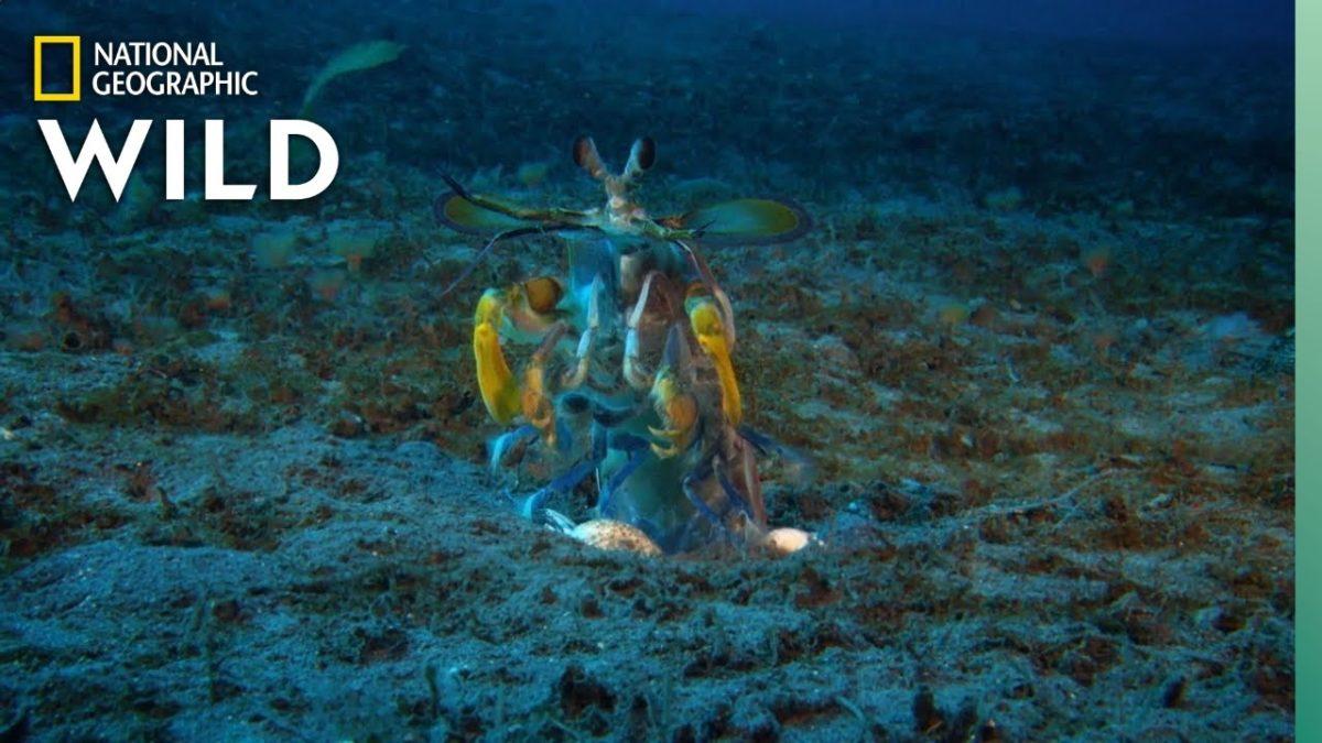 Mantis Shrimp vs. Octopus – FIGHT!!!
